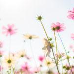 fleurs de couleur rose