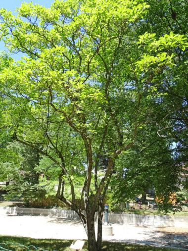 Arbres Magnolia-Soulanges