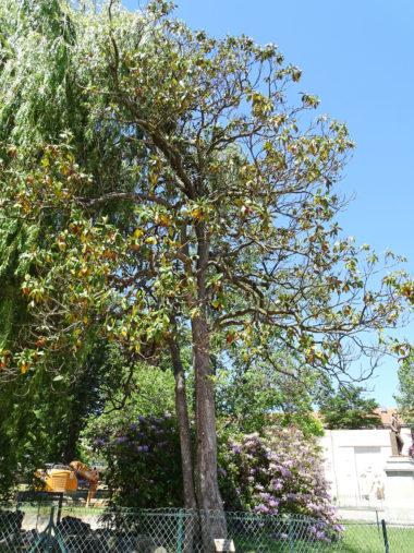 Arbre Magnolia-grandes-fleurs