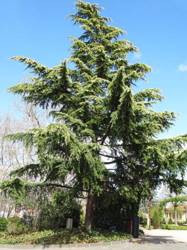 arbre cedre-himalaya