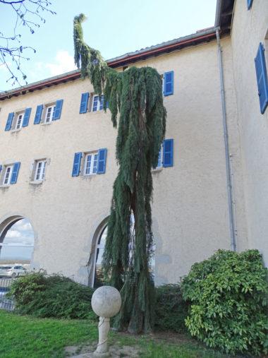 arbre sequoia-geant-pleureur