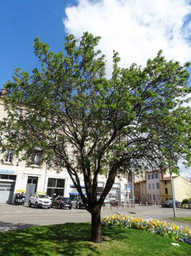 arbre amandier
