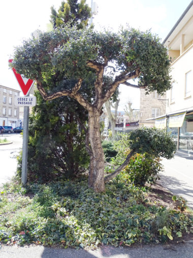 arbre chene-liege