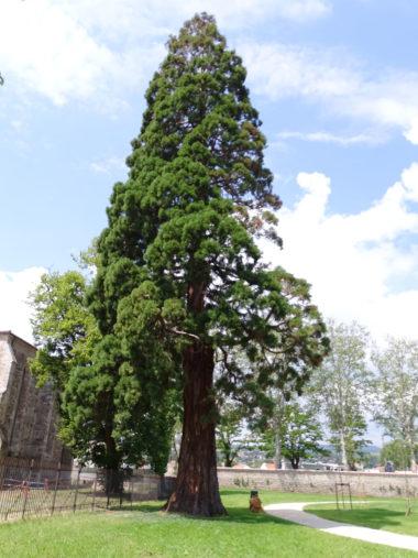 arbre Sequoia-géant