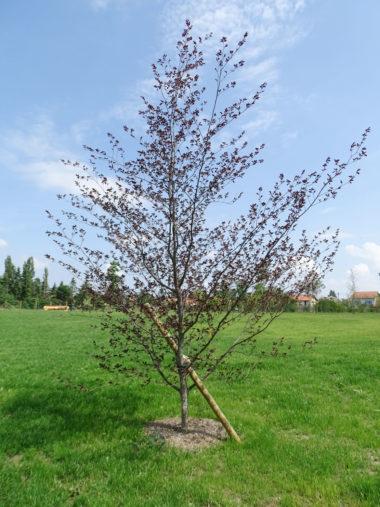 arbre Hêtre-tricolore
