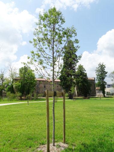 arbre Erable-de-Buerger