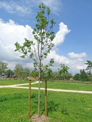 arbre Chene-Hongrie
