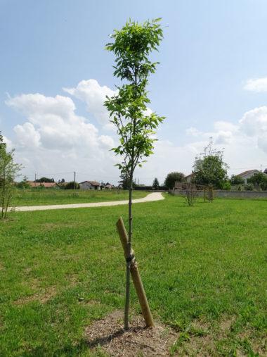 arbre Frene-raywood