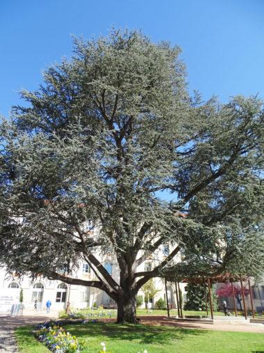 arbre cedre-atlas