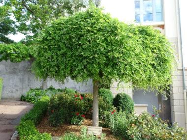 arbre Sophora-du-japon