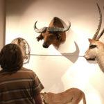 Têtes d'animaux sur trophée mural